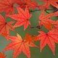 Maple Leaf Live Wallpaper